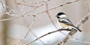 Chickadee in Tree