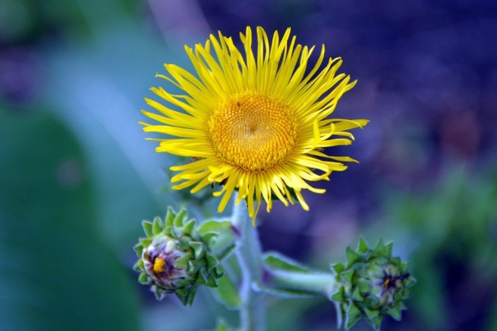 Elecampane Yellow Flower