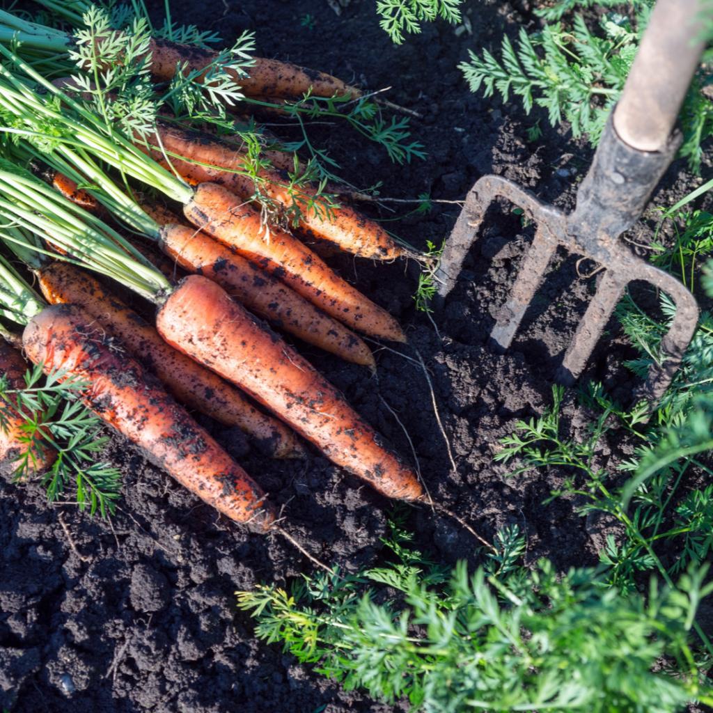 Victory Garden Carrots